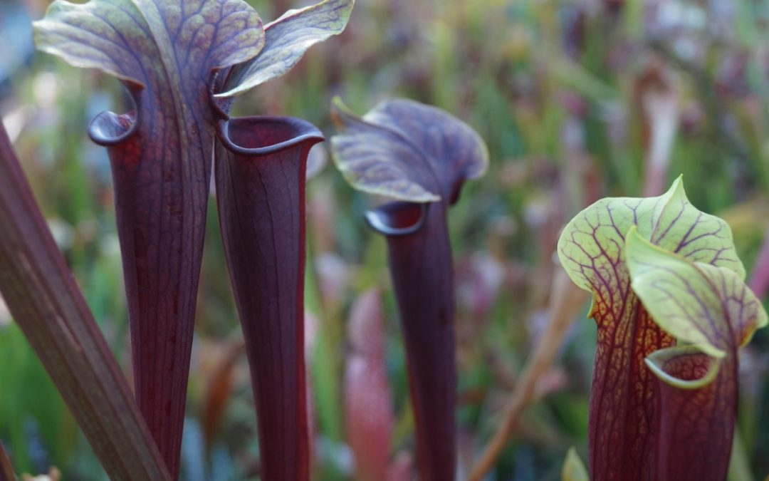 sarracenia alata insect eaters