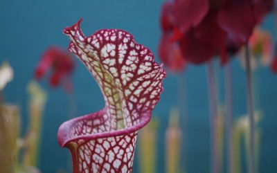Sarracenia Trumpet pitchers rise like a Pheonix