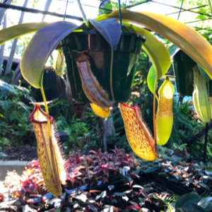 nepenthes maxima x northiana