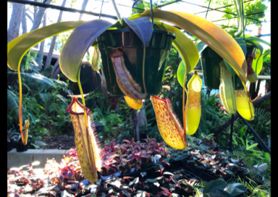 nepenthes-hanging-baskets-perth