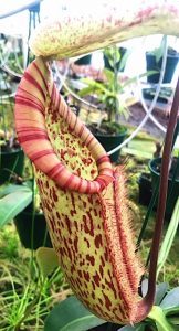 nepenthes pitcher plants