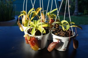 nepenthes bargain perth hills