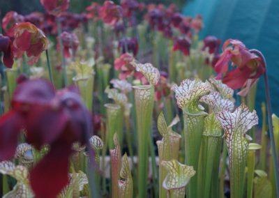 sarracenia-plants-bargain