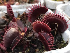 Carnivorous plant Nursery